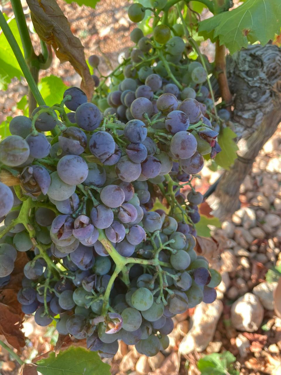 Some vines have earlyGrapes sweet enough to eat