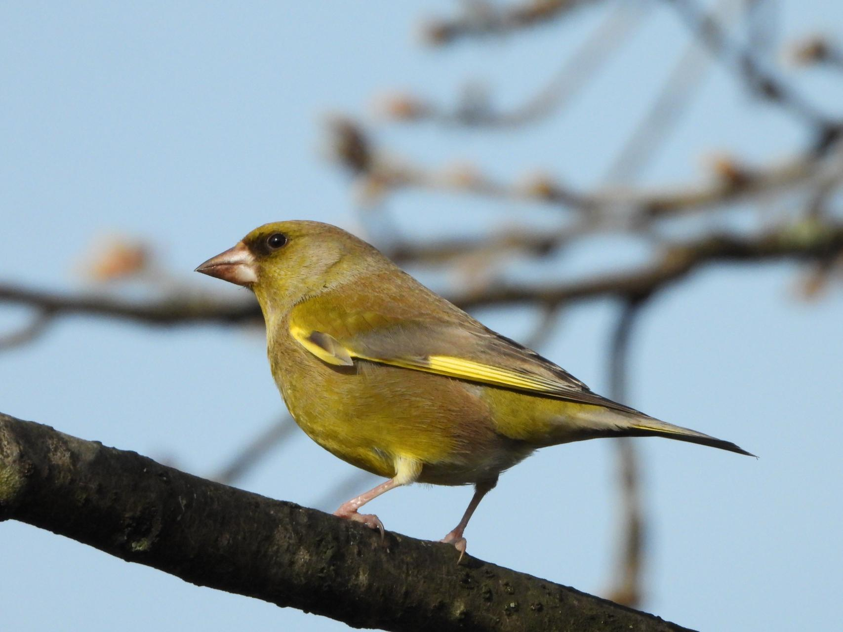 Adult Greenfinch.