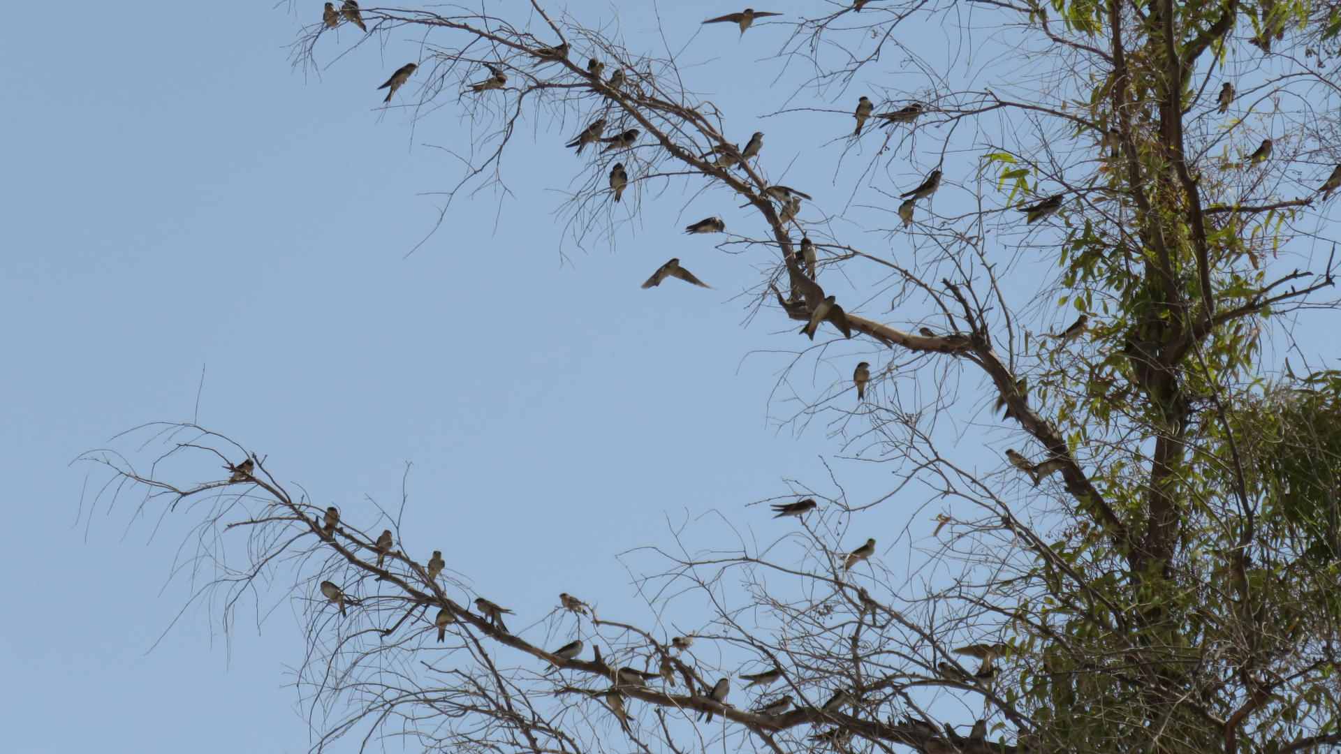 House Martins gathering to migrate