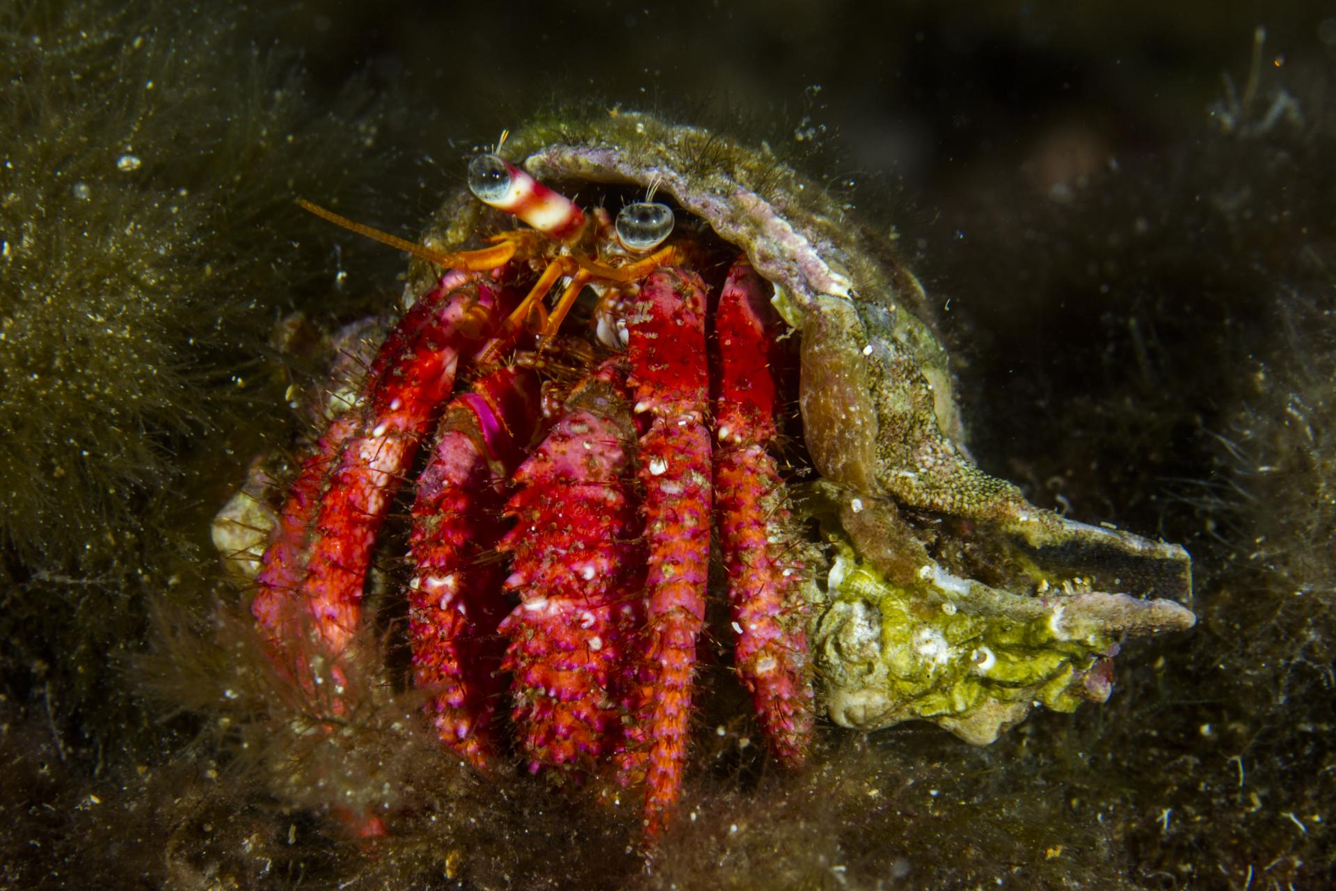 Several species of hermit crab can be found in Balearic waters.