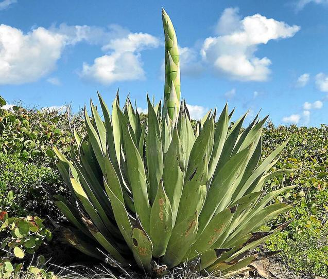 A century plant