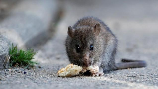 Increase in number of rats in Palma