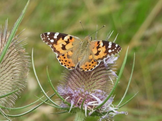 Butterflies in Majorca