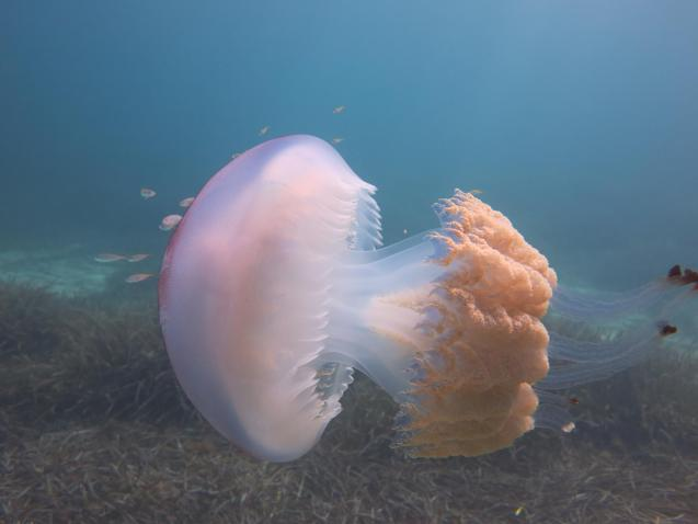 Jellyfish in Santa Ponsa