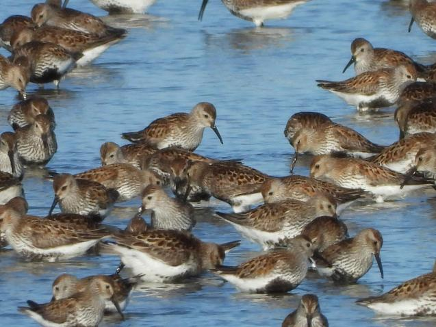 Dunlin and Snipe
