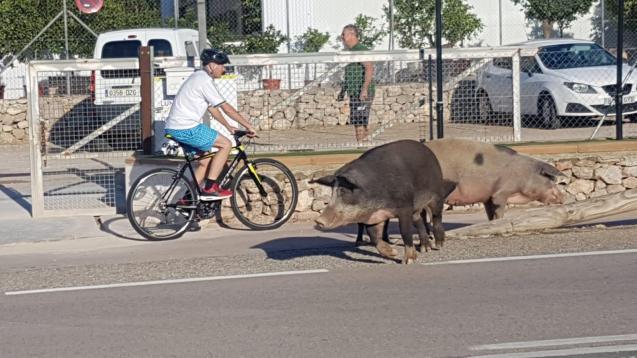 Pigs in Puerto Andratx