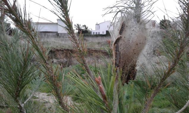 Processionary caterpillar nest