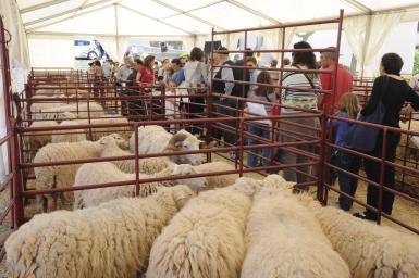 Calvia's goat and sheep fair.