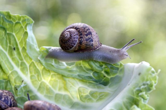 Snails are a common garden pest