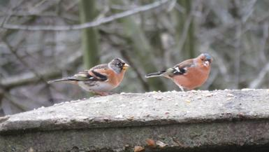 Male Brambling (lef) with a male Chaffinch for comparison.