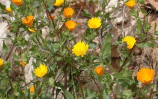 Marigolds are beginning to flower