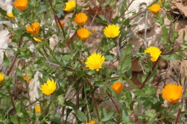Marigolds are beginning to flower.