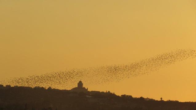 Starlings over S'Amarador