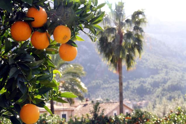 Oranges aplenty here in Majorca