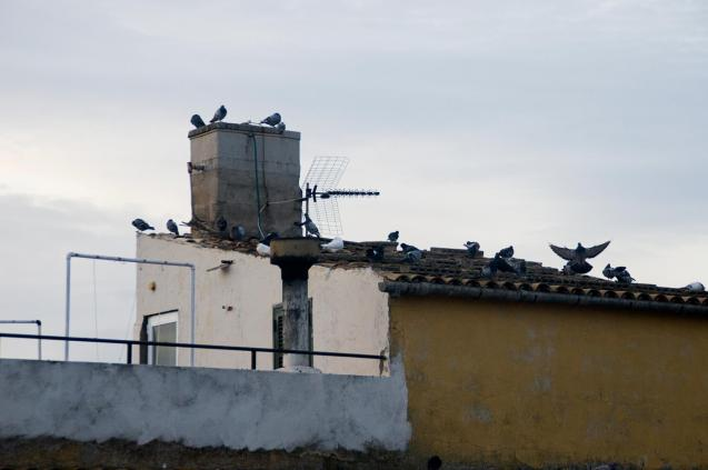 The pigeons gathering on the roof