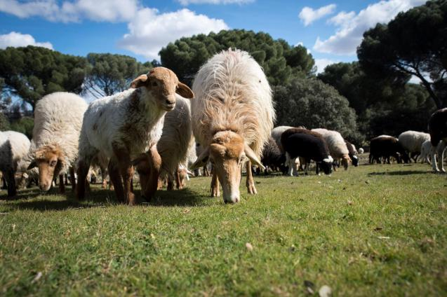 In the last decade sheep numbers have decline by 95,000