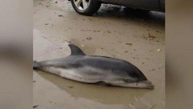 Dolphin stranded by Storm Gloria.
