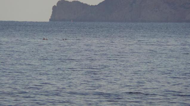 Dolphins in Ibiza