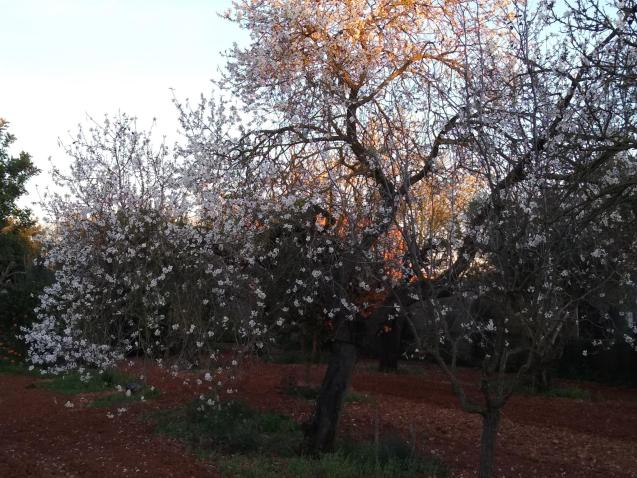 February almond blossom