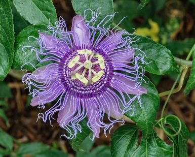 Passionflower.