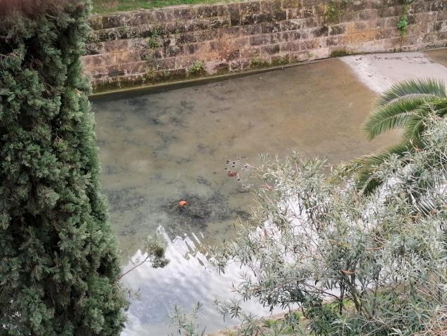 Ducklings in Palma