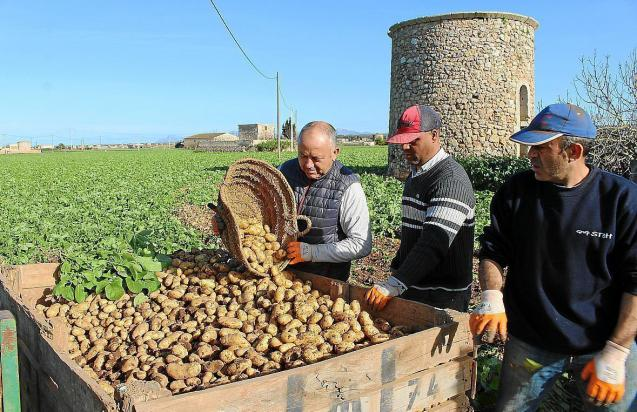 The Lady Christl potatoes are picked in Sa Pobla and the first shipment to will be exported to the UK on Saturday.