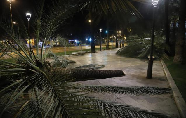 Gale force winds bring down tree in Paseo Sagrera
