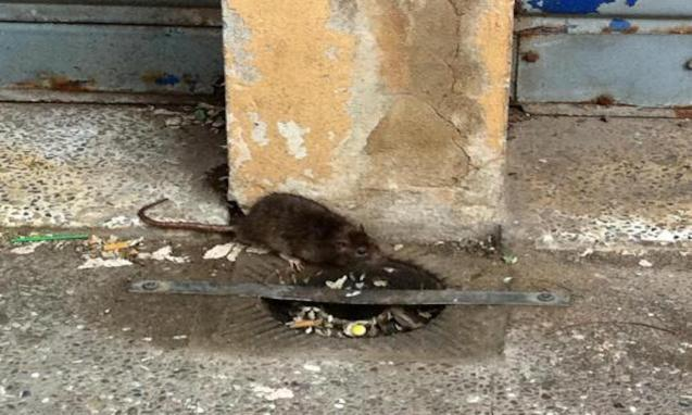 Pimeco complains about rats in Palma.