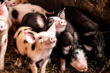 The pig has had an essential role in mankind's domesticity.