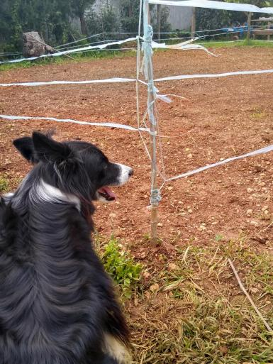 Brady border collie can't wait to roll on a green lawn..
