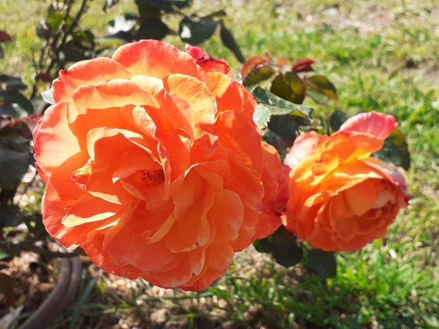 Roses bloom in April