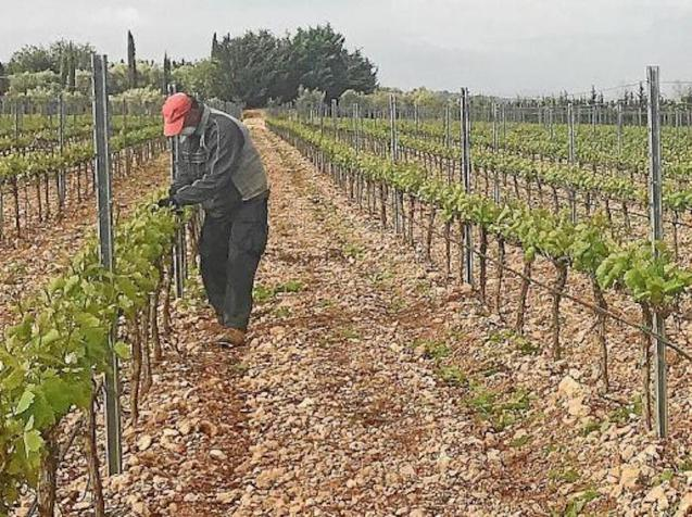 It will be a difficult year for winemakers in the Balearics.
