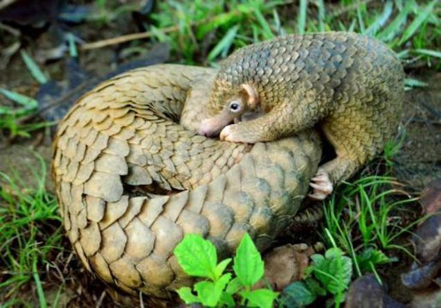 The Pangolin is thought to be the source of Covid-19.