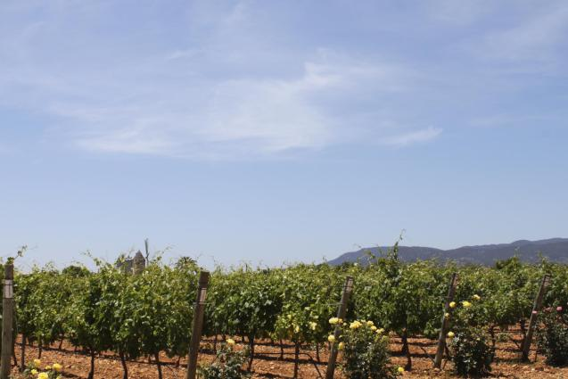 Vineyards in Binissalem.