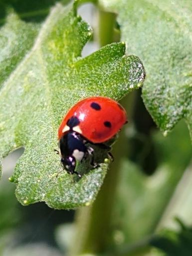 Red ladybird.