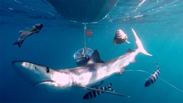 Shark population at risk in the Balearic Islands.