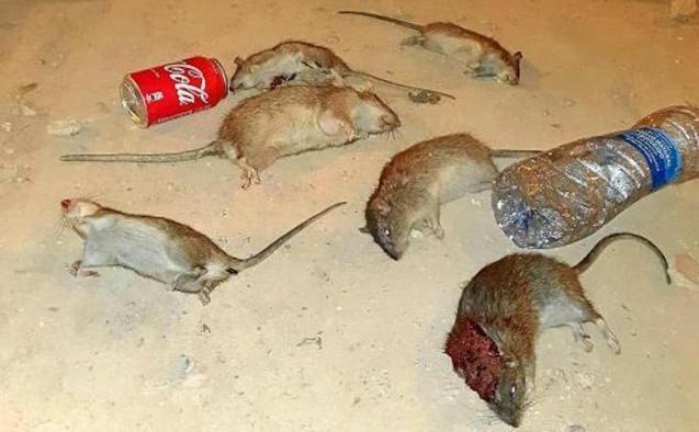 Plague of rats in Camp Redo, Palma.