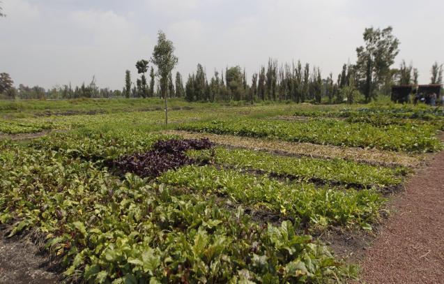 Fields of strawberries