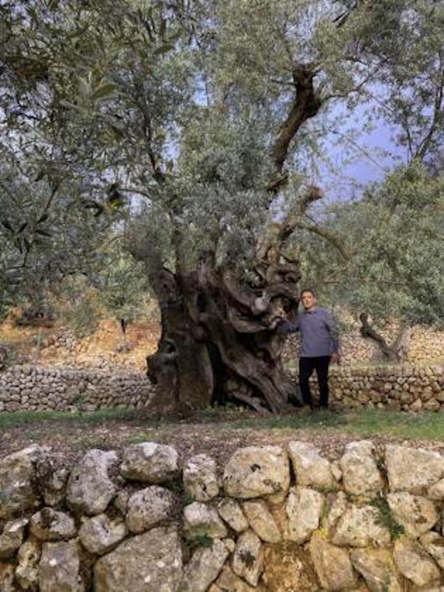 Fornalutx olive tree.