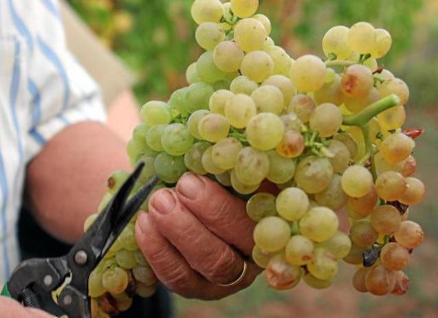 Several winemakers in the Balearics have applied for State aid.