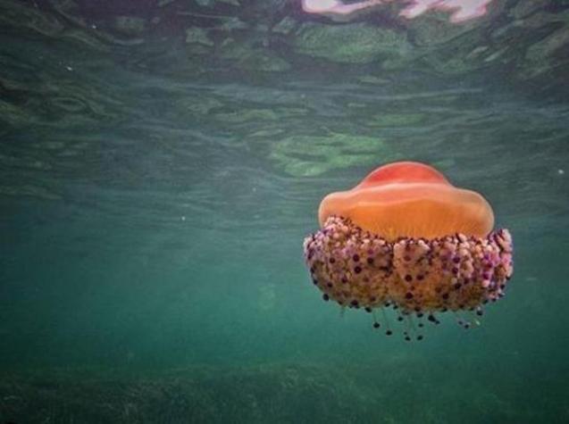 Cotylorhiza tuberculata jellyfish.