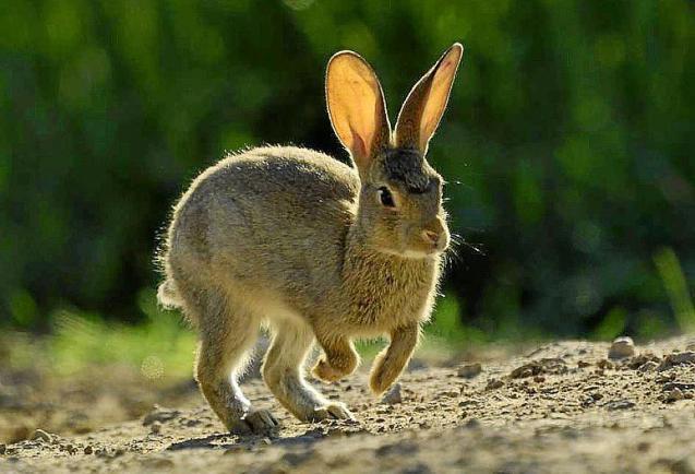 Hares in Mallorca