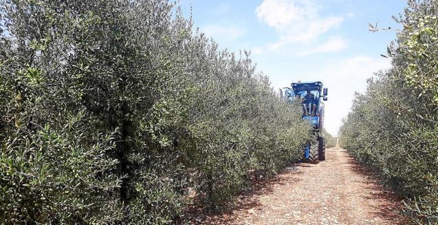 Olive harvesting in Mallorca.