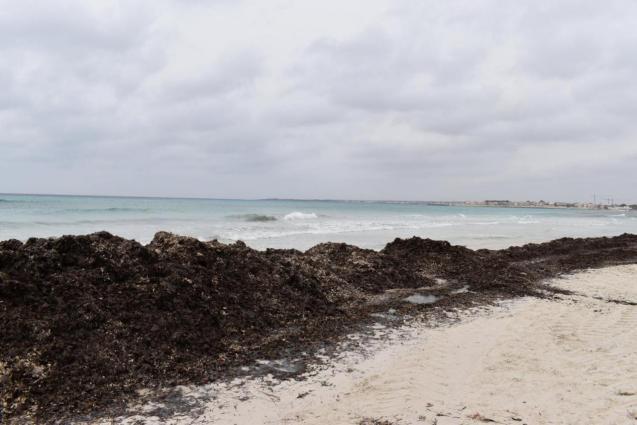 Bank of dead posidonia at Es Trenc beach, Mallorca