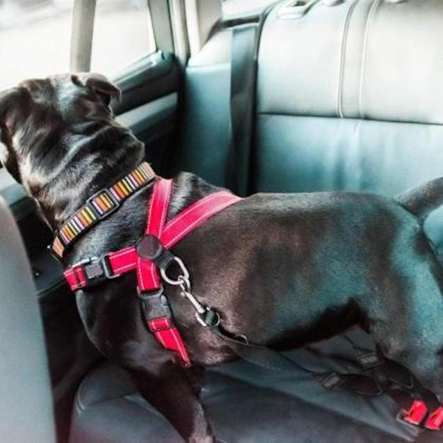 Dogs must be secured in cars.