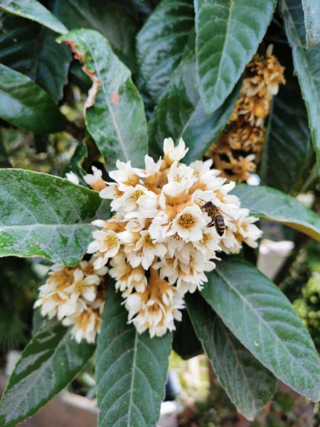 Nispero Flowers