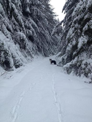 Mollie Collie in the Snowy Forest, Scotland.