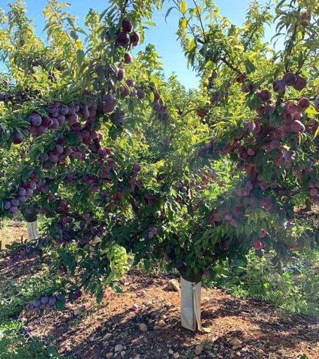 Fruit trees on the farm.