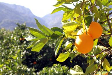 Soller oranges.