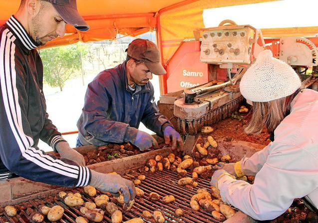 Potato processing in Sa Pobla, Mallorca